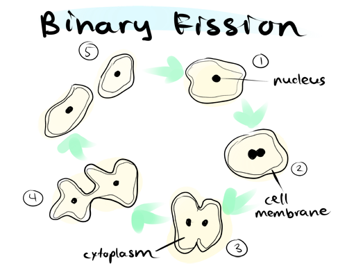 Methods of asexual reproduction in amoeba