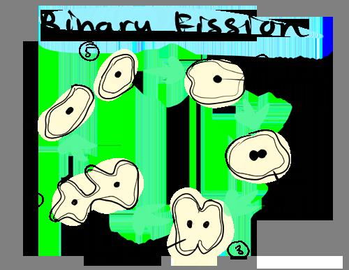 Reproducci n asexual spores